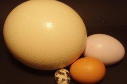 Das befruchtete Ei wird zur Fortpflanzung ausgebrütet