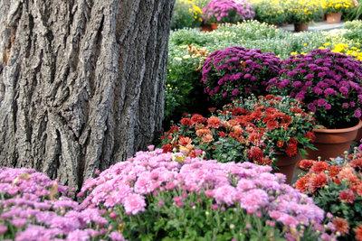 Chrysanthemen sind in vielen Farben erhältlich.