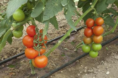Ausgeizen bringt eine reichere Tomatenernte.