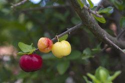 Die Acerola stellt eine tolle Pflanze für die Heimkultivierung dar.