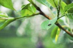 Viele Parasiten können Pflanzen ernsthaft schädigen.