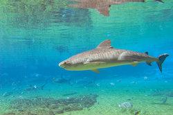 Tigerhaie sind an ihrer Streifung gut erkennbar - und durchaus im Atlantik anzutreffen.
