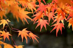 Japanischer Fächerahorn bietet eine wundervolle Herbstfärbung.