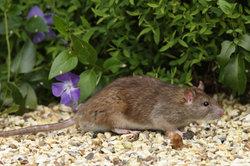 Die Pest wird vor allem über den Rattenfloh übertragen.