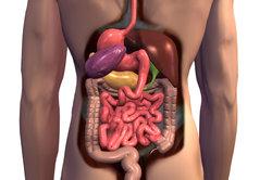 Übersicht der inneren Organe.
