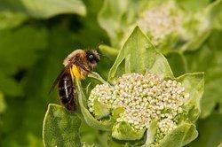 Bienen ernähren sich meist von Nektar und Pollen.