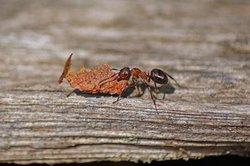 Ameisen benutzen ihr Gift zur Feindesabwehr