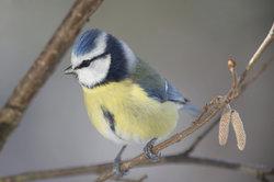Blaumeisen brüten im Baum und auch in Nistkästen.