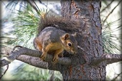 Eichhörnchen in ihrem Lebensraum beobachten