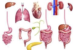 Ein Organ ist eine Funktionseinheit innerhalb des Körpers.