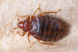 Insektenstiche im Bett können unterschiedliche Verursacher haben.