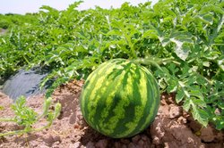 Wassermelonen können im heimischen Garten leicht kultiviert werden.