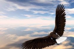 Der Adler gilt als König der Lüfte.