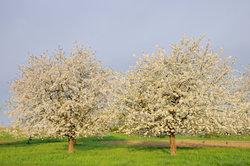 Spektakuläre Naturkulisse: Die Obstbaumblüte im Frühjahr