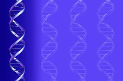 Die DNA befindet sich im Zellkern.