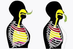 Bei der Einatmung senkt sich das Zwerchfell und dehnt dabei die Lunge.