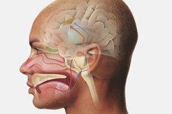Die Hirnnerven versorgen hauptsächlich den Kopf- und Halsbereich.