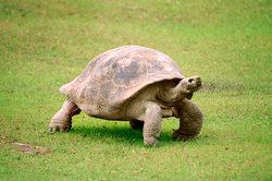 Die Schildkröte hat einen dicken Panzer.