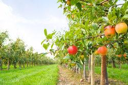 Eine Pflanzenveredelung kann die Erträge erheblich erhöhen.