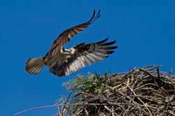 Fischadler im Anflug seines Horstes