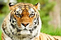 Tiger laufen bis zu 60 km/h.