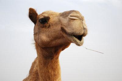 Die Haltung und Pflege von Kamelen ist aufwendig.
