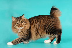 Es gibt auch Katzen mit einem angeboren kurzen Schwanz, hier eine Japanese Bobtail