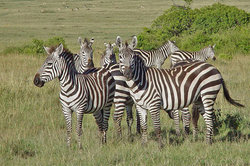 Auch Zebras sind gesellige Herdentiere.