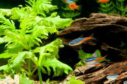 Neonsalmler sind robuste Aquarienfische