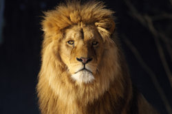 Der Löwe gilt als König der Tiere.