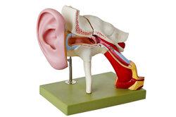 Die Ohrtrompete hat eine wichtige Funktion.