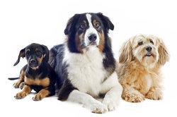 Bärenhunde gehören zu den sehr beliebten Hunderassen.