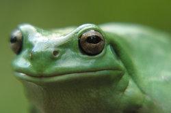 Der Hörsinn ist beim Frosch sehr wichtig.