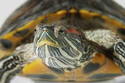 Neugierige Rotwangenschildkröte