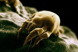 Milben sind kleine spinnenartige Tiere.
