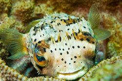 Kugelfisch: die Augen bewegen sich getrennt voneinander.
