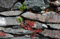 Auch Farne gedeihen in Natursteinmauern.