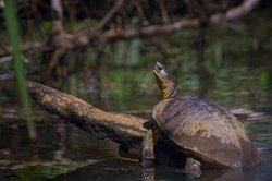 Wasserschildkröte nimmt ein Sonnenbad