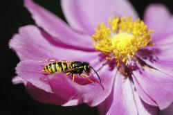Deutlich schwarz-gelb: eine Wespe