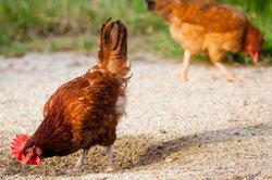 Ein Huhn kann viele Jahre alt werden.