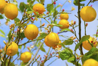 Gesunder Baum - gesunde Früchte.