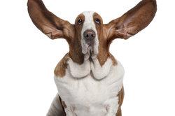 Hunde haben ein ausgeprägten Hörsinn.