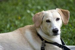 Einen Labrador-Mix-Welpen als Familienmitglied eingliedern