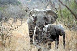 Elefantenbabys sind ziemlich groß.