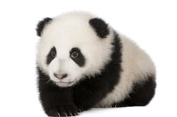 Ein niesender Panda begeistert die Internetgemeinde.