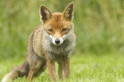 Der Fuchs ist schlau und anpassungsfähig.