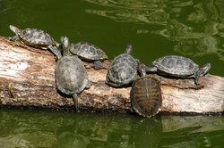 Schildkröten: Sonnenplatz im Wassergehege