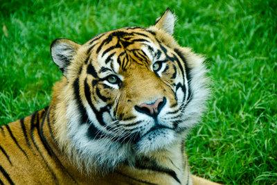 In Deutschland ist es möglich, Tiger zu streicheln.
