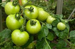 Überdachen Sie Ihre Tomatenpflanzen, um sie vor Blattfäule zu schützen.