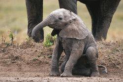 Dieser junge Elefant war fast 2 Jahre im Mutterleib, bevor er auf die Welt kam.